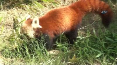 Bursa Hayvanat Bahçesi'nin yeni misafiri kırmızı pandalar