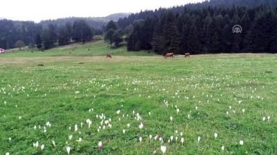 Yaylacılara hava soğudu uyarısı yapan 'vargit' çiçekleri açtı - TARBZON