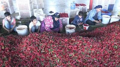 Mevsimlik işçilerin 'acı hayatı' - GAZİANTEP