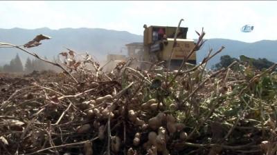 Türkiye'nin yer fıstığı ihtiyacının yüzde 60'ı Adana'dan