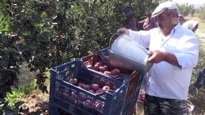 Isparta'da elma hasadı