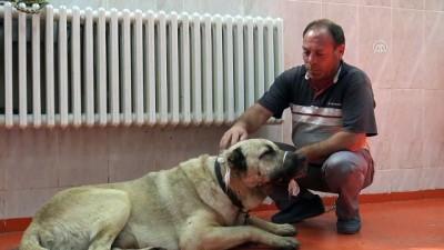 Kangal köpeklerinin tümörleri operasyonla alındı - BİNGÖL