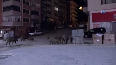 hayvan -  Yaban domuzları şehir merkezine indi
