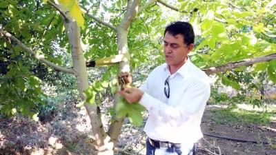 muhabir -  Cevizin ana vatanında hasat başladı