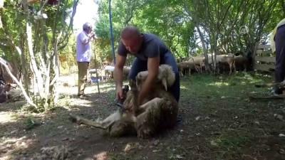 'Dünyanın en iyi koyun kırkımcısı' olmak istiyor - KIRKLARELİ