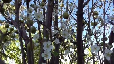 Armut ağacı eylülde çiçek açtı - KONYA