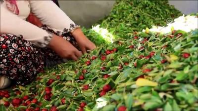'Ölümsüzlük meyvesi' hünnapta hasat dönemi - MANİSA