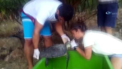 Yaralı bulunan yeşil deniz kaplumbağası tedavi altına alındı