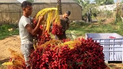 Gazzeli hurma üreticileri pazarlama sıkıntısı yaşıyor - GAZZE