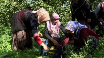 Dünyanın ayva merkezi Geyve'de ayva hasadı başladı