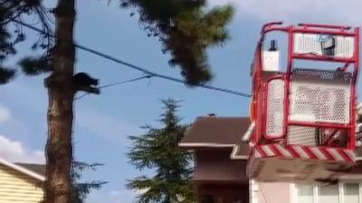 Ağaçta mahsur kalan 'Jaguar' kurtarıldı