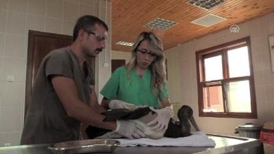 Kara leylek kanadına takılan 'platin'le yaşama bağlandı - SAMSUN