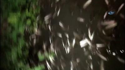 Hasanpaşa Deresi'nde bilinmeyen sebeple balık ölümleri yaşanıyor