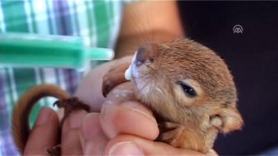 Yavru sincaplar koruma altına alındı - TOKAT