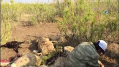 Aç kalan kurtlar koyun sürüsüne saldırdı, 78 hayvan telef oldu