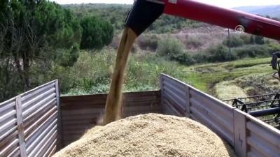 Manyas'ta çeltik hasadı başladı - BALIKESİR