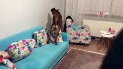 Narkotik köpeği 'Zeyna' 72 kilo eroini böyle buldu