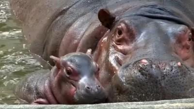 Hindistan'da doğan minik su aygırı hayvanat bahçesinde ziyaretçilerin ilgi odağı oldu