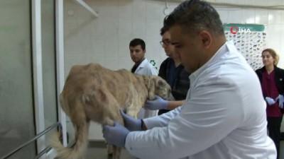 Kalp yetmezliği tespit edilen köpeğe stent takıldı