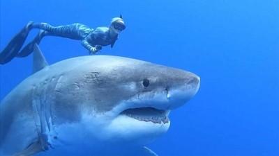 hayvan - Dalgıçlar, zararsız olduklarını ispatlamak için köpek balıklarıyla yüzdü