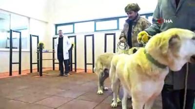 hayvan -  Köpeklere Suni tohumlama yöntemi