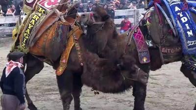 37. Selçuk Efes Deve Güreşi Festivali - İZMİR