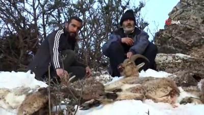 Adıyaman'da 5 yaban keçisi soğuktan donarak telef oldu