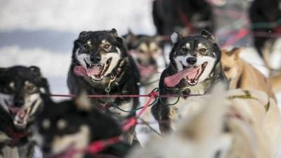   Fransız Alpleri'nde köpek yarışları
