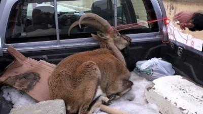 Çetin geçen kış, koruma altındaki dağ keçilerini de etkiliyor İzle
