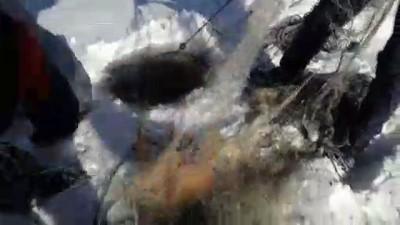 ekince - Eskimo usulü avcılıkta sezonun en büyük balığını yakaladı - ARDAHAN
