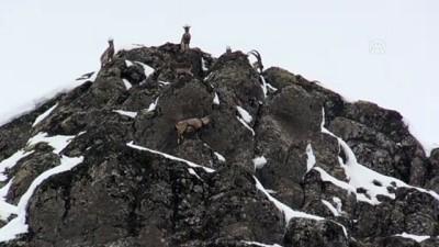 Karlı dağlarda yem arayan yaban keçileri görüntülendi - BİNGÖL