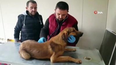 İki duvar arasına sıkışan köpeği kurtarmak için evin duvarını yıktılar