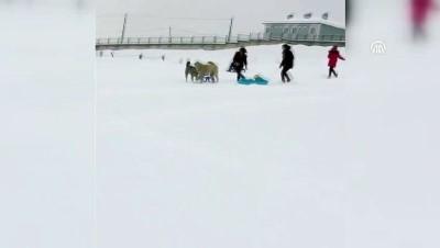 Çocuklar ile köpeklerin kızak kapma mücadelesi - ARDAHAN