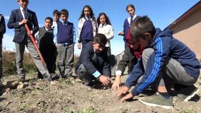 organik tarim - Öğrenciler okul bahçesinde patates üretti - KARS