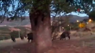 Tunceli'de yaban domuzları bu kez de gündüz görüntülendi