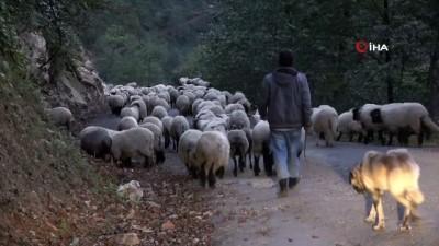 Doğu Karadeniz'de koyun sürülerinin yayladan köye zorlu dönüş yolculuğu başladı