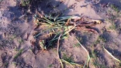Koruma altındaki kum zambaklarını kopardılar - ANTALYA