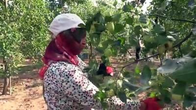 Hünnap üretimin artırılması hedefleniyor - AMASYA