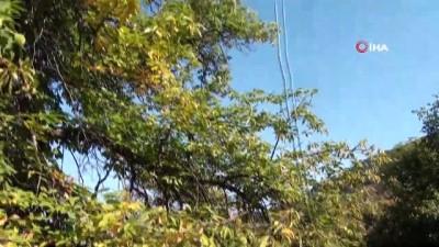 Asırlık kestane ağaçlarında hasat