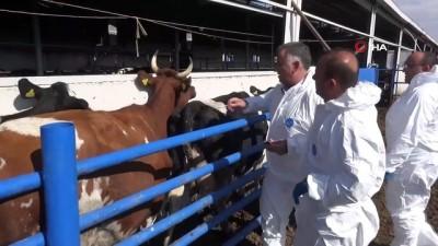 yuksek ates -  Aksaray'da hayvanlara şap aşılama çalışması başladı