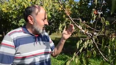Meyve ağaçlarında endişelendiren görüntü