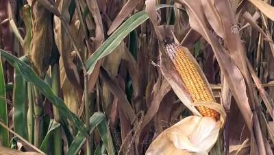 TMO'nun mısır satış fiyatını açıklaması piyasaya olumlu yansıdı - ADANA