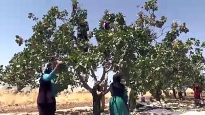 Türkiye'den 10 ayda 93 ülkeye Antep fıstığı ihraç edildi - ŞANLIURFA İzle