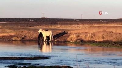 Yılkı atları doğal ortamlarında böyle görüntülendi
