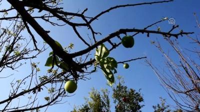 Turgutlu'da erik ağacı kasımda meyve verdi - MANİSA