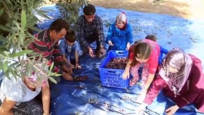 Turizm merkezinin 'yeşil altını'nda hasat zamanı - MUĞLA