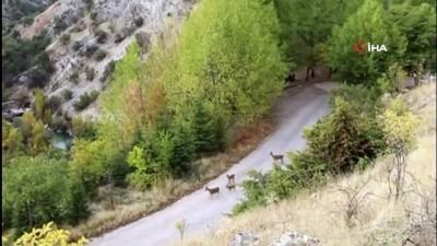 Yaban keçileri her gün o ilçede