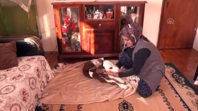 Hayvancılık yapan Fatma Öncel prematüre buzağıya evinde bakıyor - ANTALYA
