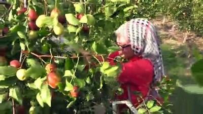 'Ölümsüzlük meyvesi' hünnaptan pekmez üretti - AMASYA