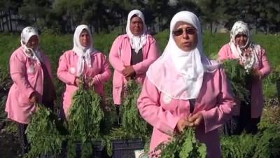 'Mucize bitki' Moringa Oleifera için hasat zamanı - GAZİANTEP